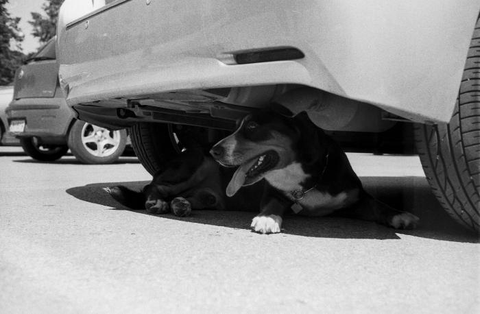 Dog under a car